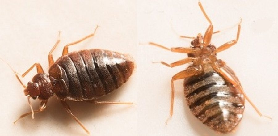 Bed Bug Extermination Process