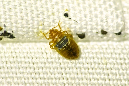 bed bug hiding