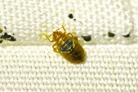 bed bug hiding