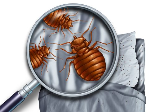 finding bed bugs